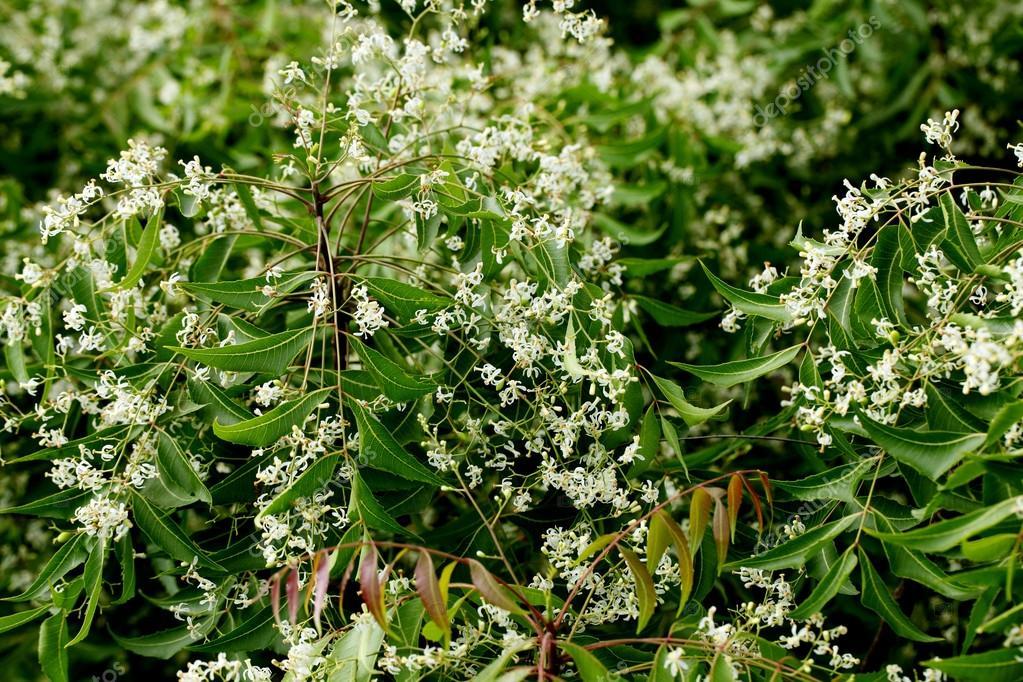 Neem leaves - azadirachta indica