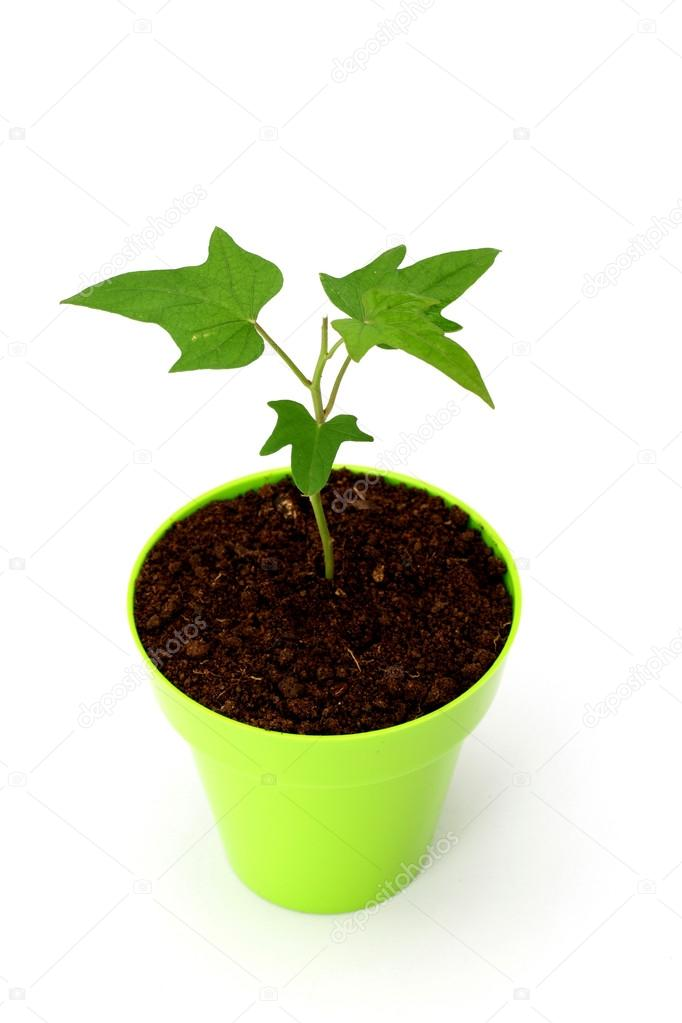 Baby plant growing in a pot on white