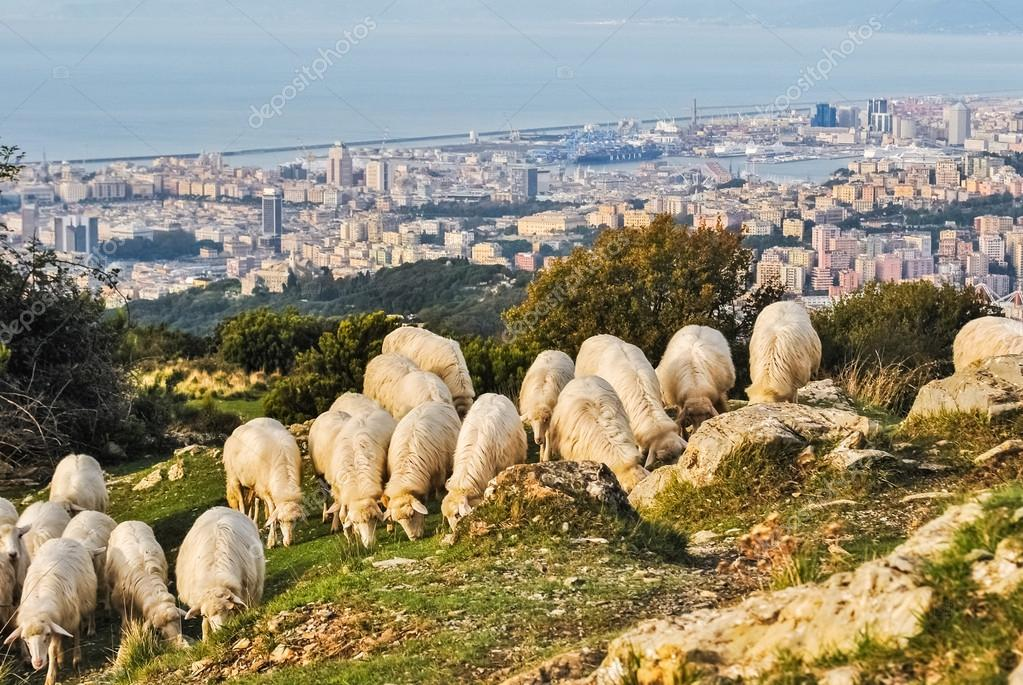 Sheeps grazing on a hill