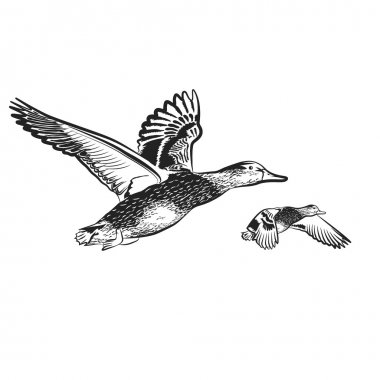 ducks fly on the white background