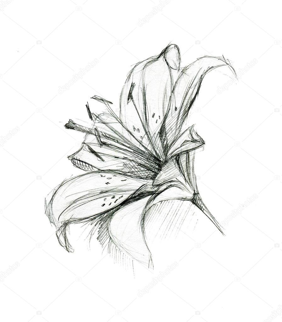 Fleur de lys main dessin esquisse sur fond blanc - Dessin de fleur en noir et blanc ...
