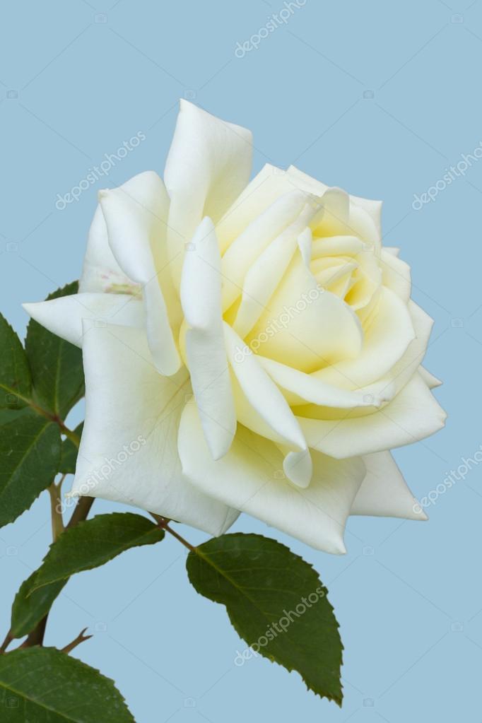 rosa blanca flor hermosa fotos de stock ol la la 76958369