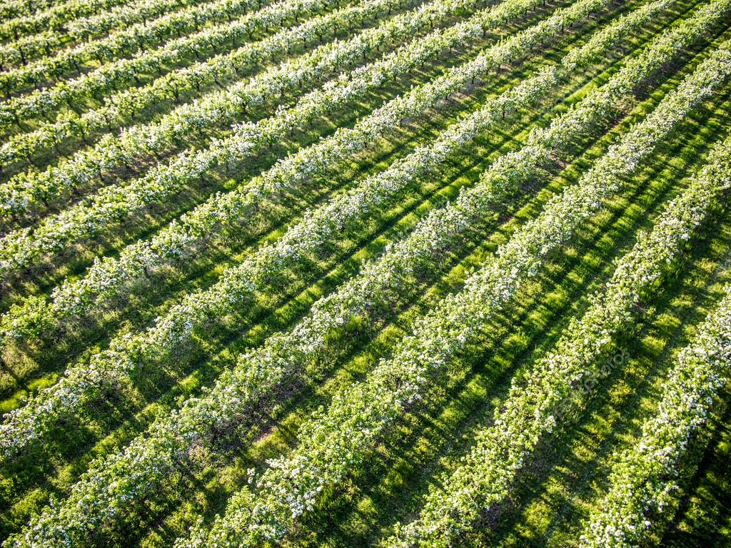 Flowering spring orchard, aerial top view — Stock Photo ...