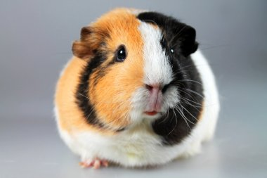 Multicoloured guinea pig