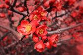 Fotografie Flowering quince