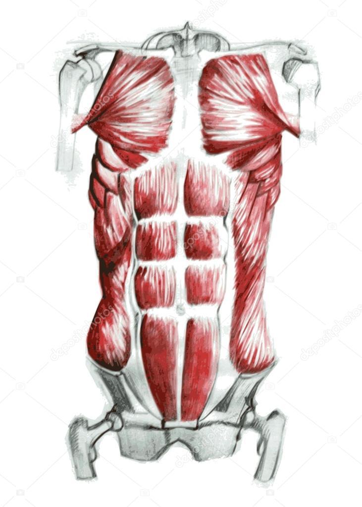 Músculos abdominales anatomía — Vector de stock © Vectorielle #69124517