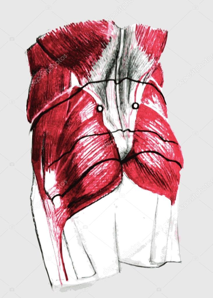 Anatomía humana - músculos espalda — Archivo Imágenes Vectoriales ...