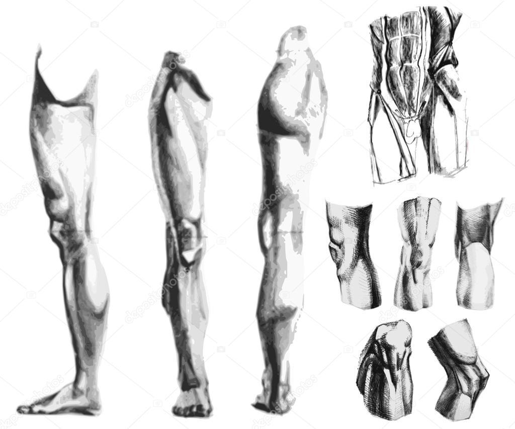 Parte trasera y delantera del sistema músculo-esquelético masculino ...