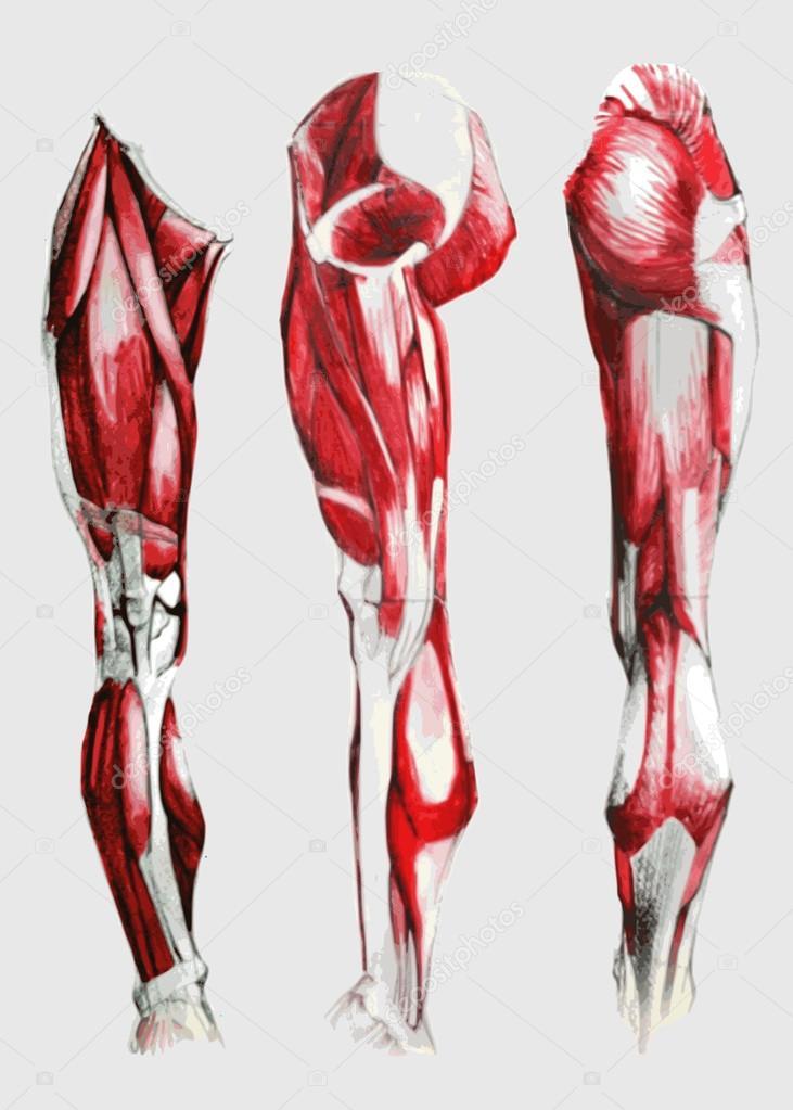 Anatomía de la pierna y el pie humanos muscular — Vector de stock ...