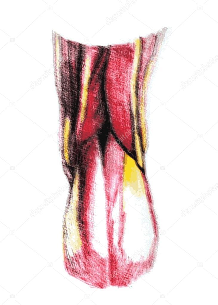 menschlichen Knie gemeinsamen Anatomie — Stockvektor © Vectorielle ...