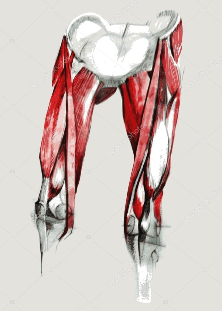 Anatomía de la pata delantera superior — Archivo Imágenes ...