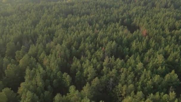 Erdőben. Fenyőerdő. Légi felvétel.