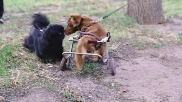 Ten pes je postižený. Pes na invalidním vozíku se hraje s ostatními psy.