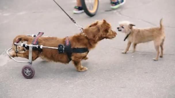 Der Hund ist behindert. Ein Hund im Rollstuhl wird mit anderen Hunden gespielt.