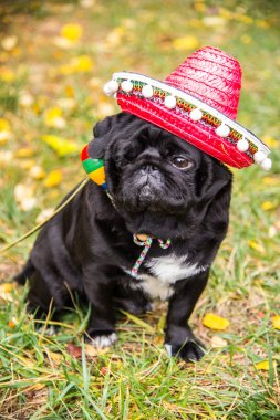 Dog Mops. Dog dressed as a Mexican. hat sombrero