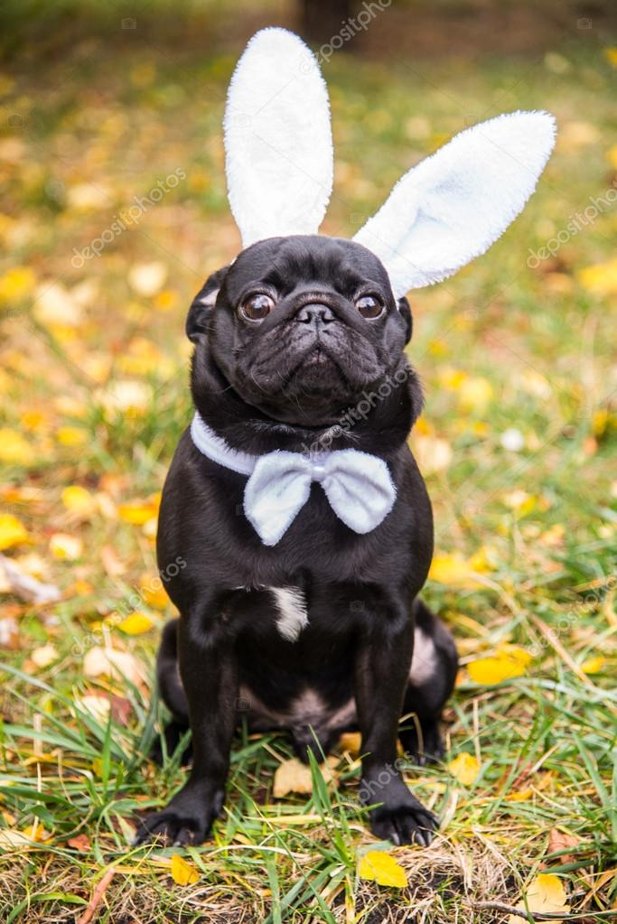 Dog Mops. Dog dressed as white rabbit.