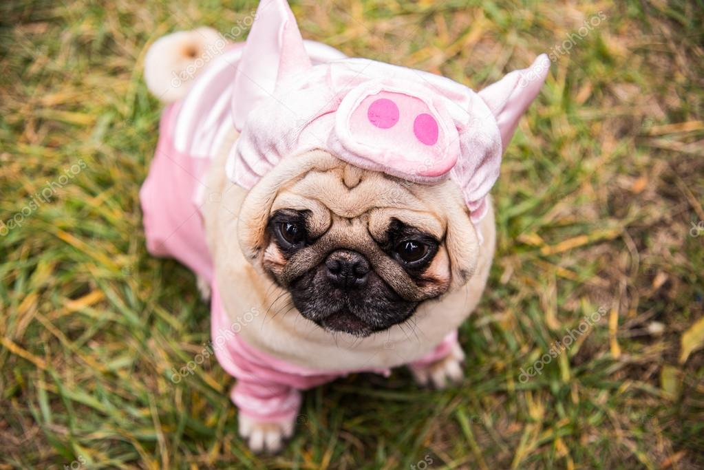 Dog Mops. Dog dressed as a pig