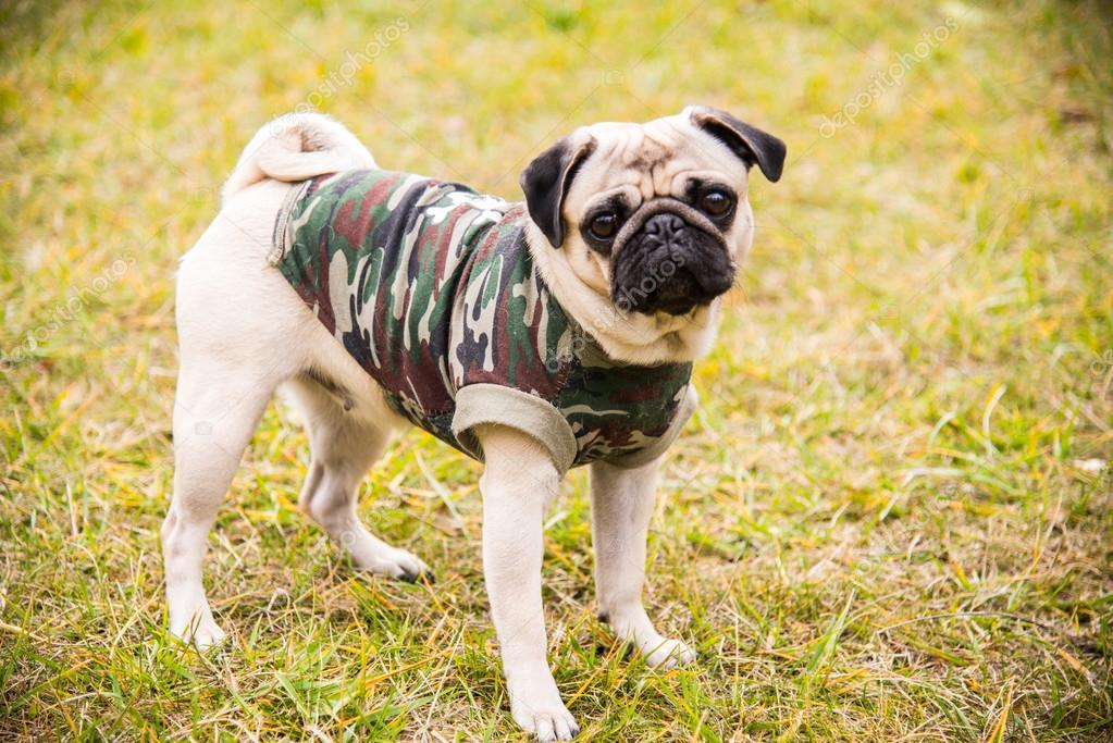 Dog Mops. Dog walking in the park — Stock Photo © liukov ...
