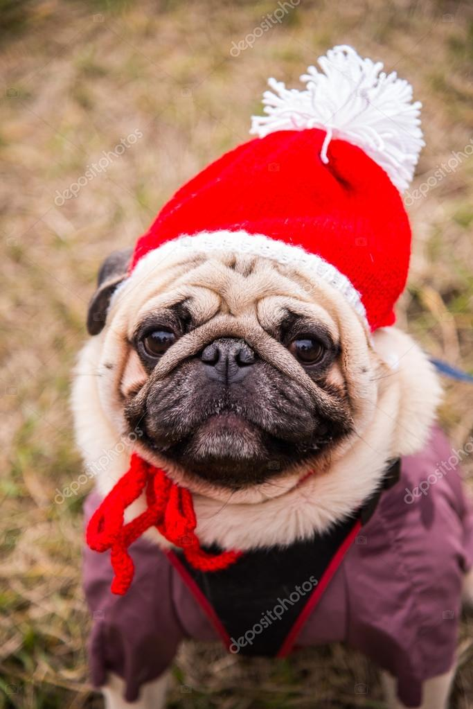 Dog Mops. Dog dressed as Santa Claus