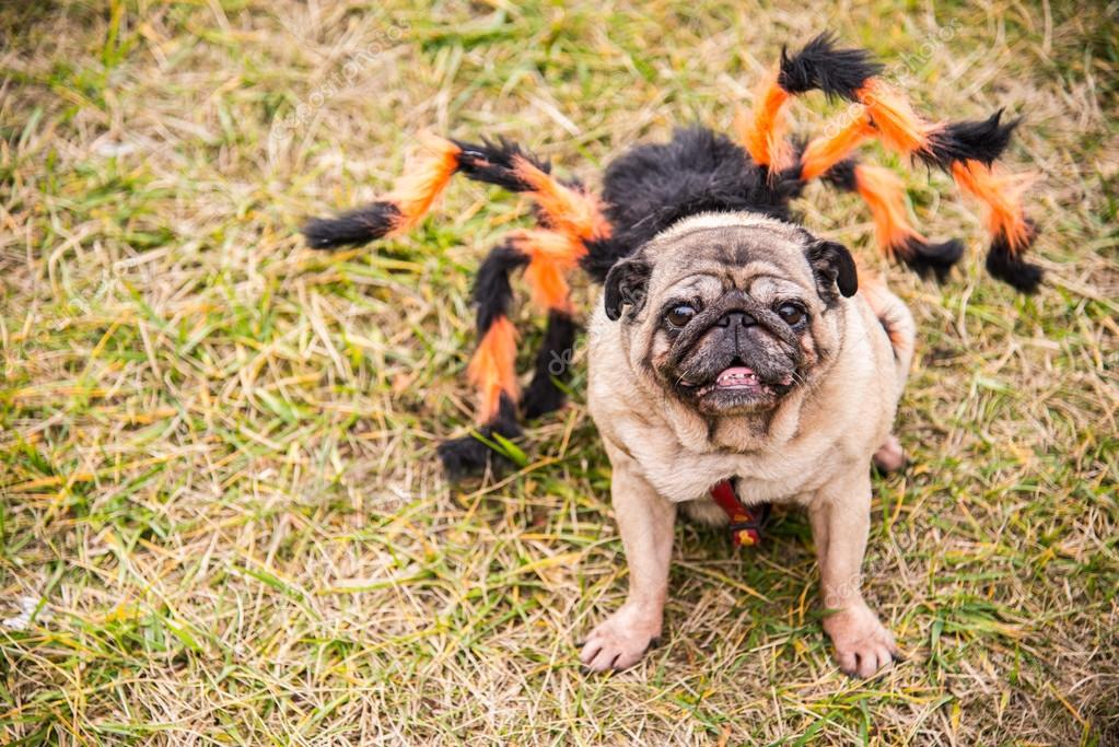 Dog Mops. Dog dressed as Spiderman