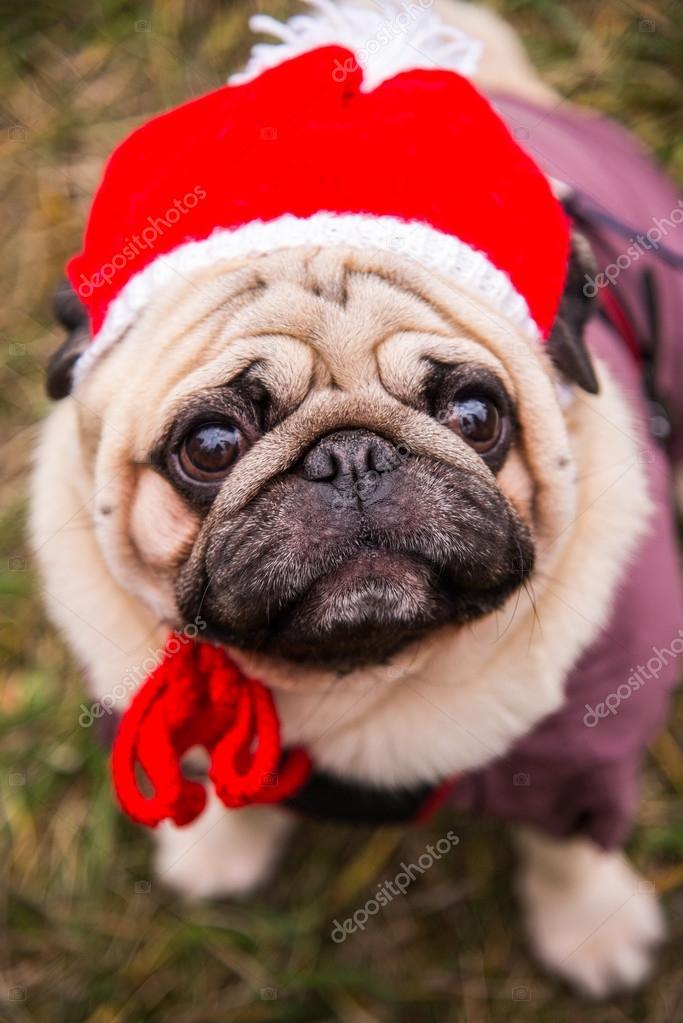 Dog Mops. Dog dressed as Santa Claus