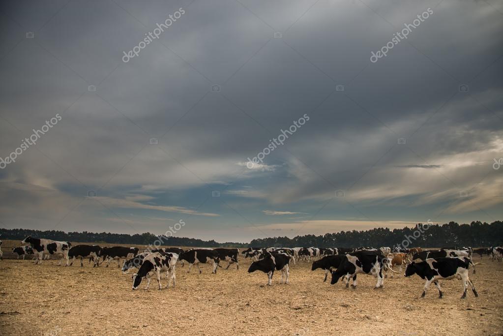 Cow farm. Cows graze in the field