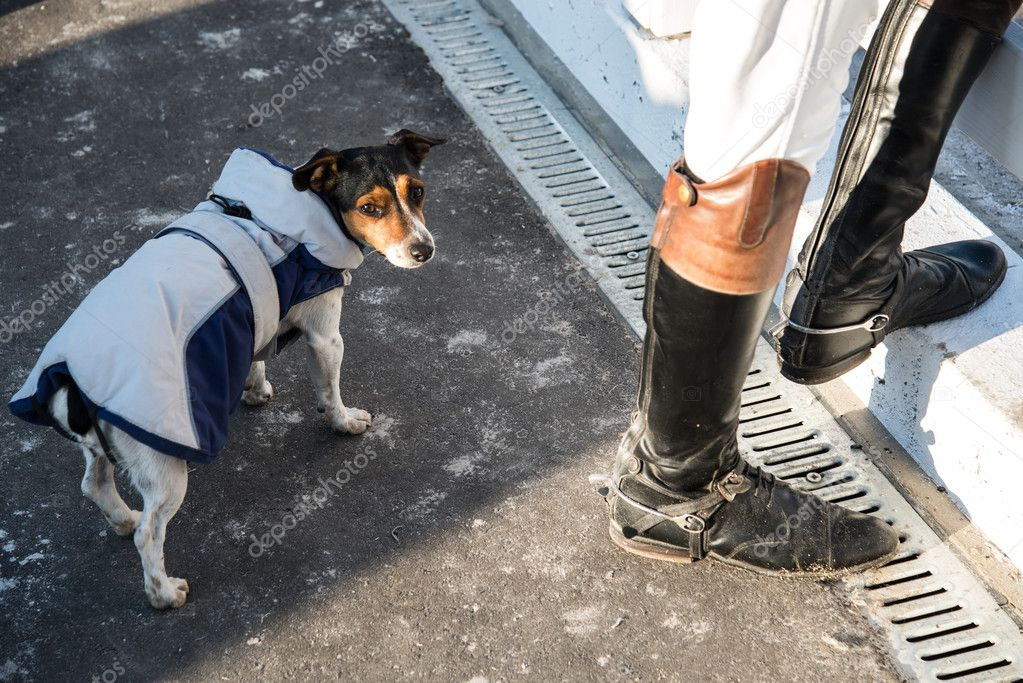 Dog dressed in jockey clothes. Jack Russell Terrier
