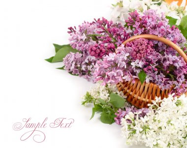 Lilac in a basket on a white background.