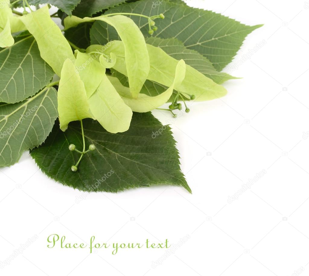 Linden branch with inflorescences on a white background.