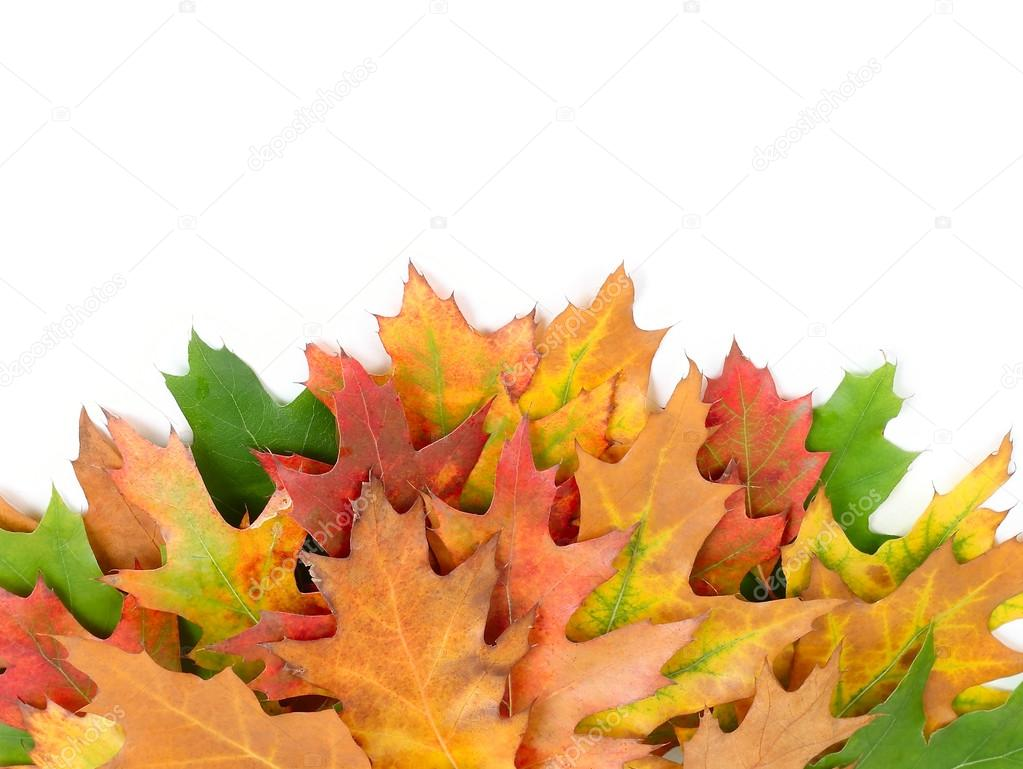 Bright autumn leaves on a white background with a place for the text. An autumn background with leaves.