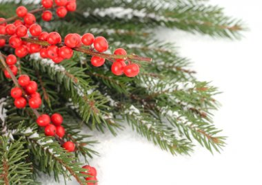 Red berries on snow-covered branches of a Christmas tree on a white background. A Christmas background with a place for the text.