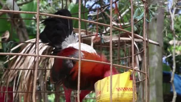 Mangiare in gabbia di Gallo