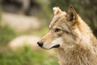 Portrait of female wolf, calm, lonely looking away.