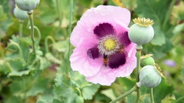 Repülő méhek beporozzák mák virág