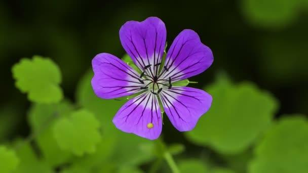 Wallich Geranium (Geranium wallichianum) Wildflowers.