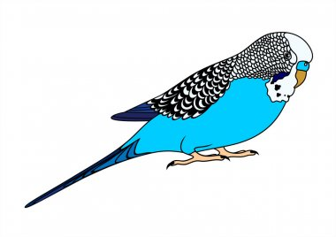 Vector illustration of blue budgie on white background