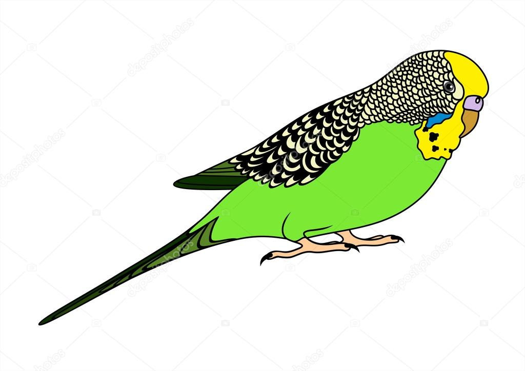 Vector illustration of green budgie on white background