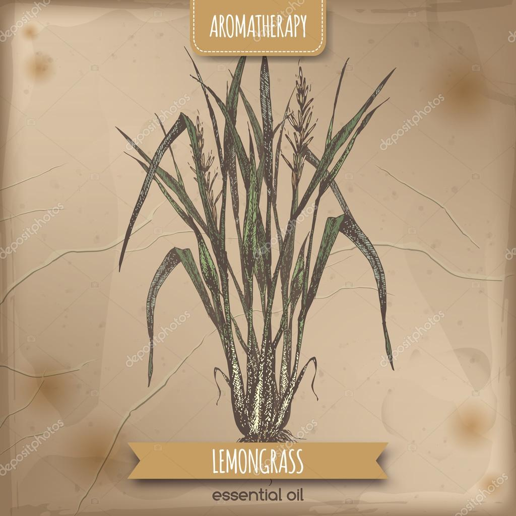 Color lemongrass sketch on vintage background.
