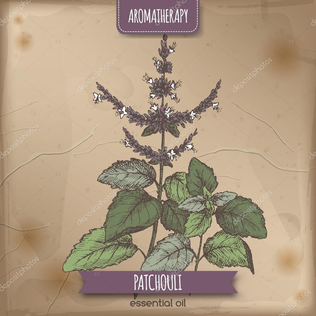 Pogostemon cablin aka Patchouli color sketch on vintage background.