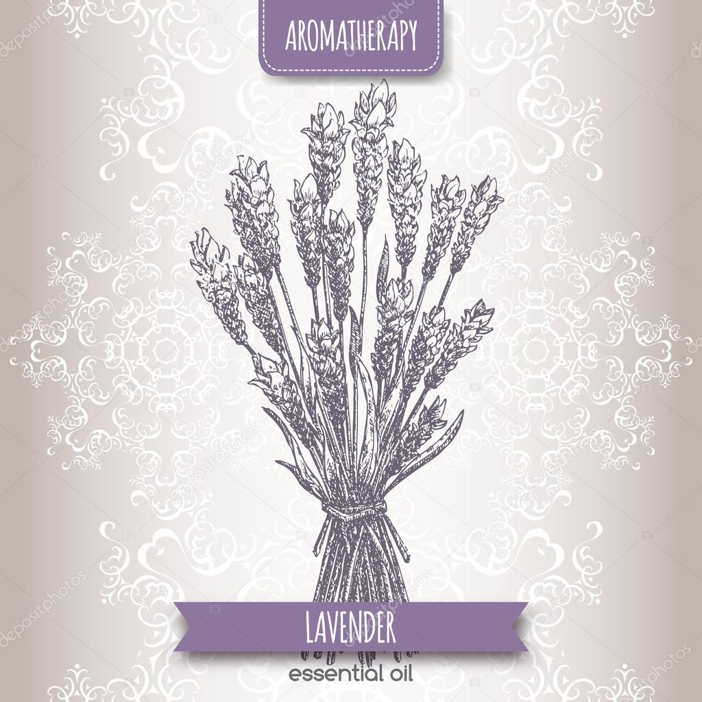 Lavandula angustifolia aka common lavender sketch