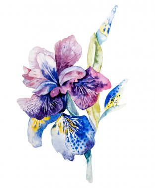 Flower of iris drawing by watercolor