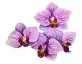Fényképek Orchidea virágok. Akvarell virágos illusztráció
