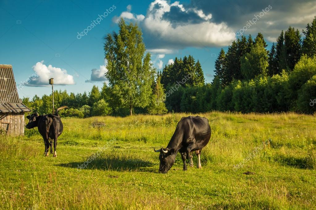 Cows grazing on a green meadow.