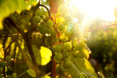 Bunch of white grapes in the setting sun.