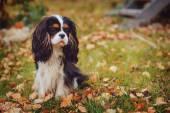 Photo cavalier king charles spaniel dog