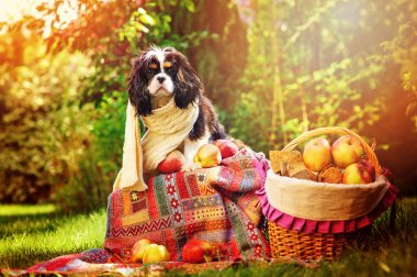 funny cavalier king charles spaniel dog sitting in autumn garden in knitted scarf with apples and basket