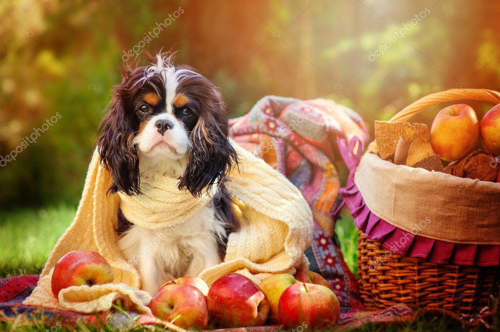 funny tricolor cavalier king charles spaniel dog sitting in sunny autumn garden in white knitted scarf with apples and basket