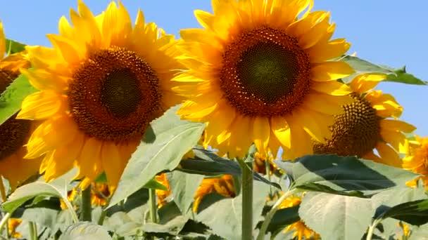 Slunečnice close-up, pole