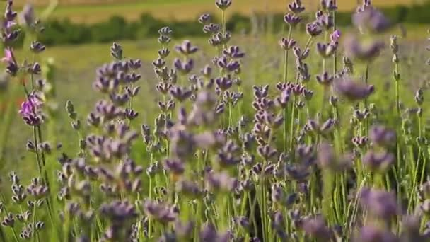 Levandulové květiny se pohybovaly ve větru na poli