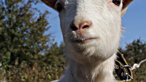 Little White Goat Cries
